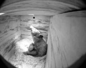 Wild bear den outfitted with video cameras