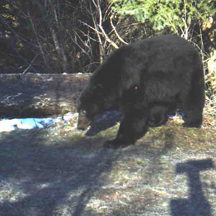 Black bear looking for something to eat